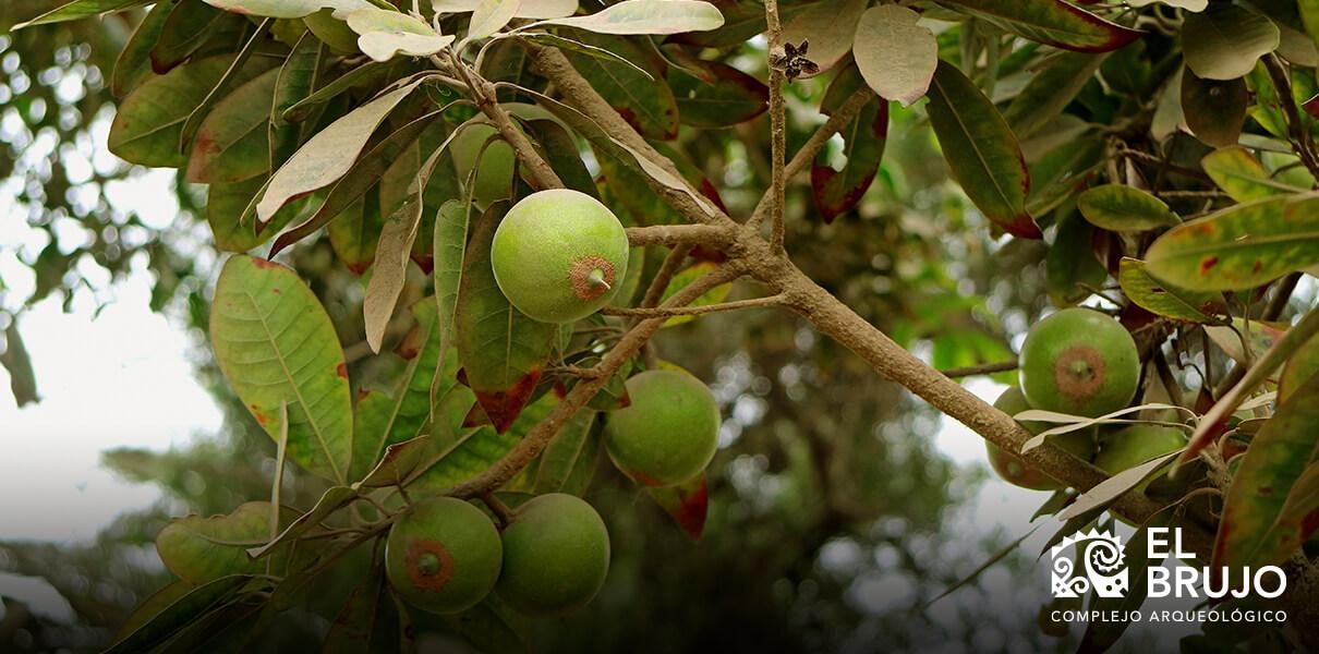 árbol de la lúcuma